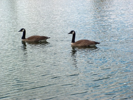 Canada Geese on Stong Pond.