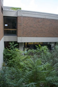 A Tree of Heaven located by the breezeway between Founders and Vanier Colleges.